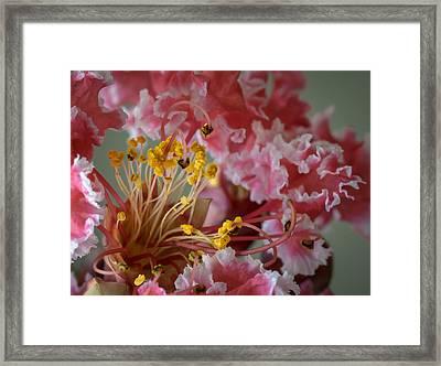 Crepe Myrtle Framed Print by James Barber