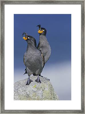 Crested Auklet Pair Framed Print by Toshiji Fukuda