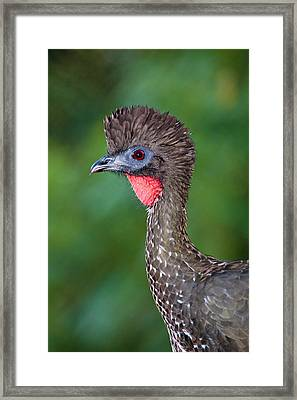 Crested Guan, A Member Of An Ancient Framed Print by Thomas Wiewandt