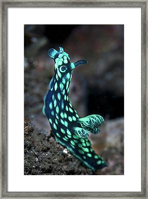 Crested Nudibranch Framed Print by Ethan Daniels