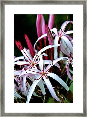 Crinum Asiaticum Spider Lily Hawaii Framed Print by Karon Melillo DeVega