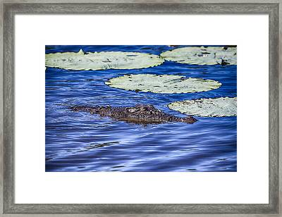 Crocodile Rock Framed Print by Douglas Barnard