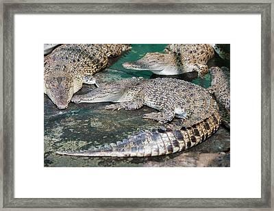 Crocodiles Framed Print by Ashley Cooper