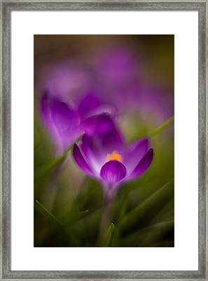 Crocus Bloom Edge Glow Framed Print by Mike Reid
