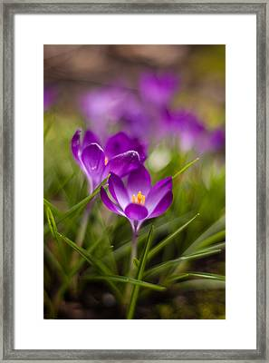 Crocus Blooms Spring Garden Framed Print by Mike Reid