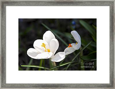 Crocus Flower Basking In Sunlight Framed Print by Elena Elisseeva