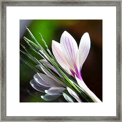 Crocus Reflections 2 Framed Print by  Andrea Lazar