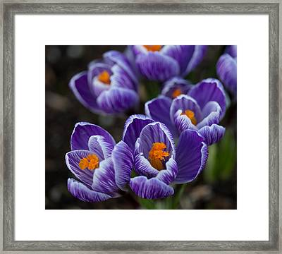 Crocuses Framed Print by Angie Vogel