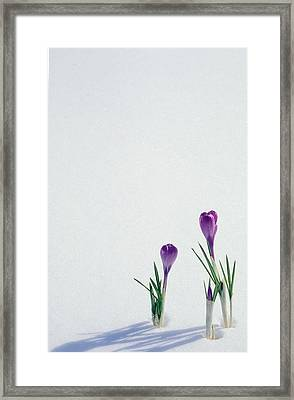 Crocuses In The Snow Framed Print by Anonymous