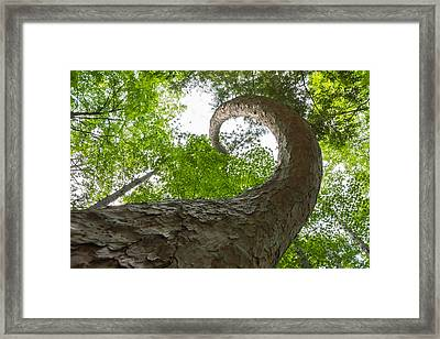 Crooked Spine Pine II Framed Print by Bill Pevlor