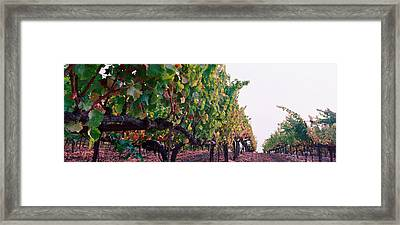 Crops In A Vineyard, Sonoma County Framed Print by Panoramic Images