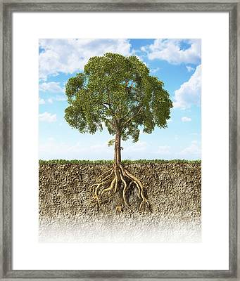Cross Section Of Soil Showing A Tree Framed Print by Leonello Calvetti