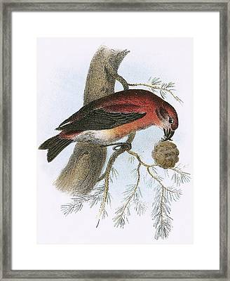 Crossbill Framed Print by English School