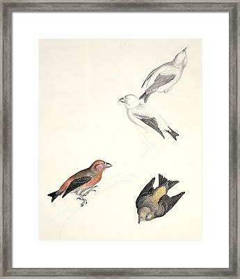 Crossbills, 19th Century Artwork Framed Print by Science Photo Library