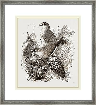 Crossbills Framed Print by Litz Collection