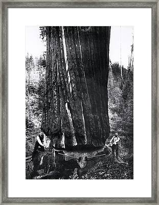 Crosscut Sawing A Giant Redwood 1893 Framed Print by Daniel Hagerman
