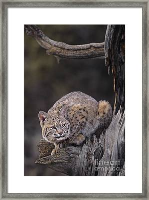 Crouching Bobcat Montana Wildlife Framed Print by Dave Welling