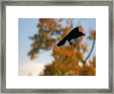 Crow In Flight 3 Framed Print by Gothicolors Donna Snyder