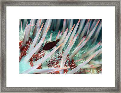 Crown Of Thorns Starfish Framed Print by Louise Murray