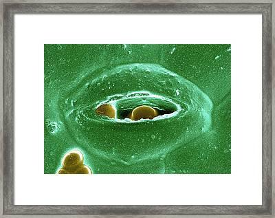 Cryptosporidium On A Spinach Leaf Framed Print by Ecmu Bauchan/us Department Of Agriculture