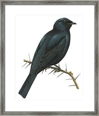 Cuckoo Shrike Framed Print by Anonymous