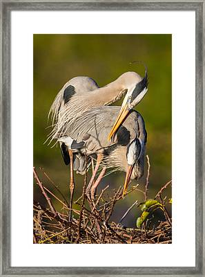 Cuddling Great Blue Herons Framed Print by Andres Leon