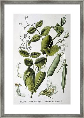 Culinary Pea Pisum Sativum Framed Print by Anonymous