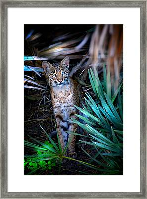 Curious Bobcat Framed Print by Mark Andrew Thomas