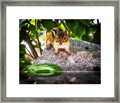 Curious Chipmunk  Framed Print by Bob Orsillo