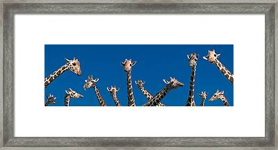 Curious Giraffes Concept Kenya Africa Framed Print by Panoramic Images