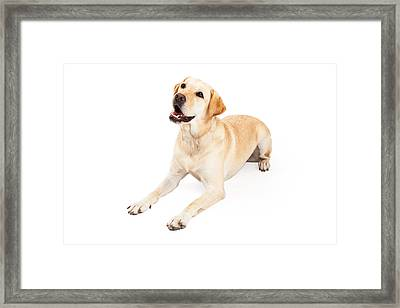 Curious Labrador Retriever Dog Laying At An Angle Framed Print by Susan  Schmitz