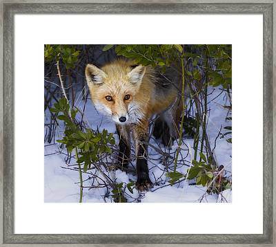 Curious Red Fox Framed Print by Susan Candelario