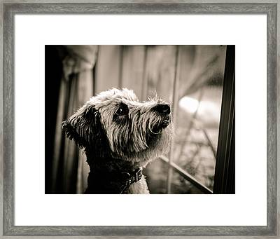 Curious Schnoodle Framed Print by Jon Woodhams
