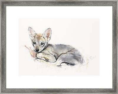 Curled Arabian Wolf Pup Framed Print by Mark Adlington