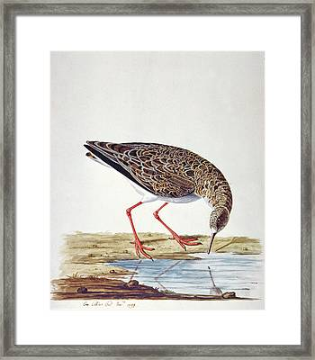 Curlew Sandpiper Framed Print by Charles Collins