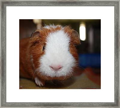 Curly The Guinea Pig Framed Print by Victoria Roehrig