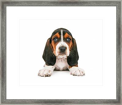 Cute Basset Hound Puppy Looking Forward Framed Print by Susan  Schmitz