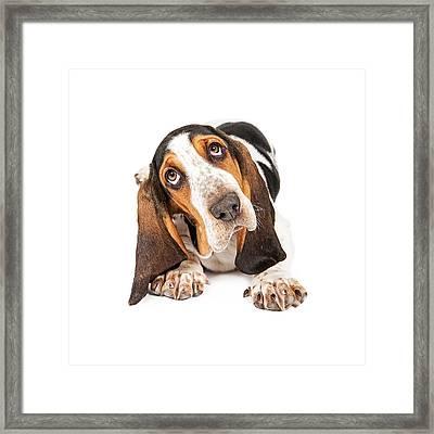 Cute Basset Puppy Tilting Heard Framed Print by Susan  Schmitz
