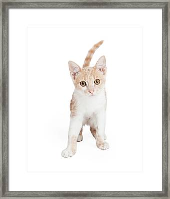 Cute Domestic Shorthair Kitten Standing  Framed Print by Susan Schmitz