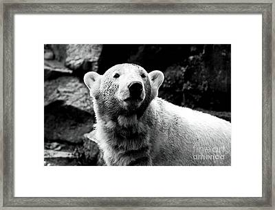 Cute Knut Framed Print by John Rizzuto