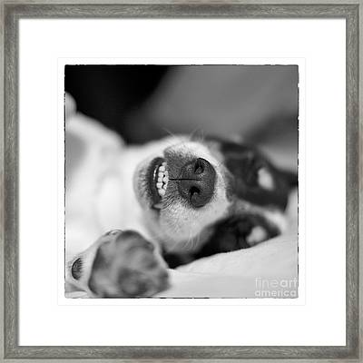 Cute Sleeping Jack Russell Terrier - Black And White Framed Print by Natalie Kinnear