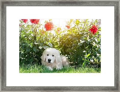 Cute White Puppy Dog Lying On Grass In Flowers Framed Print by Michal Bednarek