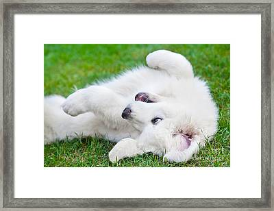 Cute White Puppy Dog Playing On Grass Framed Print by Michal Bednarek