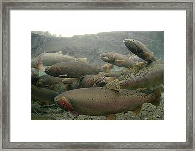Cutthroat Trout In Henrys Lake Idaho Framed Print by Michael Quinton