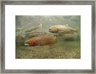 Cutthroat Trout In The Spring Idaho Framed Print by Michael Quinton