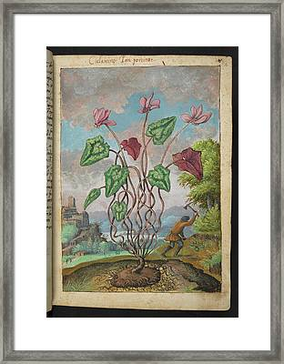 Cyclamen Framed Print by British Library