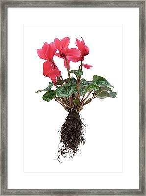 Cyclamen Sp. Plant In Flower Framed Print by Trevor Clifford Photography