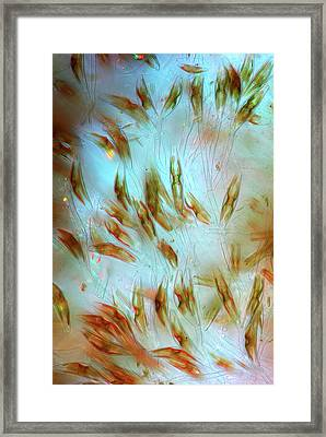 Cymbella Diatoms Framed Print by Marek Mis