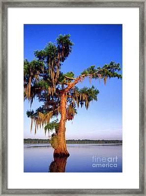 Cypress Tree Draped In Spanish Moss Framed Print by Thomas R Fletcher