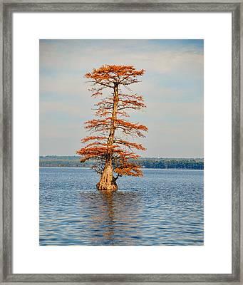 Cypress Tree In Autumn IIi Framed Print by Jai Johnson